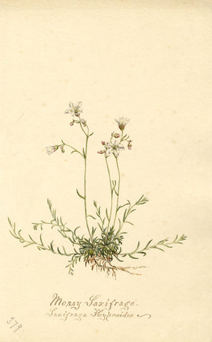 Mossy Saxifrage Flower, Saxifraga Hypnoides - Original 1902 watercolour painting