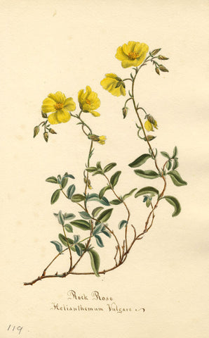 Rock Rose Flower, Helianthemum Vulgare - Original 1894 watercolour painting
