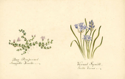 Bog Pimpernel & Vernal Squill Flowers - Original 1894 watercolour painting