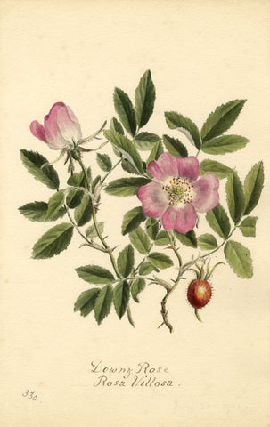 Downy Rose Flower, Rosa Villosa - Original 1901 watercolour painting