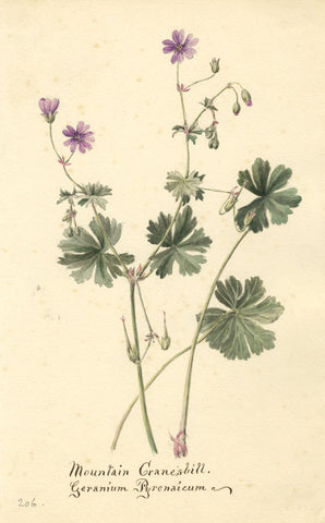 Mountain Cranesbill Flower, Geranium Pyrenaicum - 1899 watercolour painting