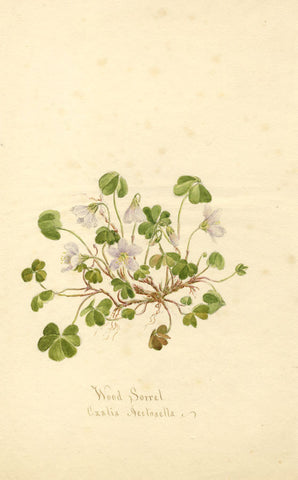 Wood Sorrel Flower, Oxalis Acetosella - Original 1894 watercolour painting
