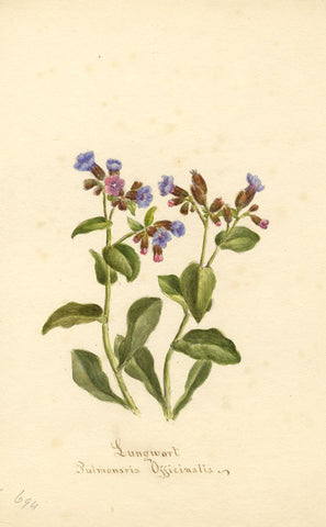 Lungwort Flower, Pulmonaria Officinalis - Original 1894 watercolour painting