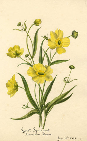 Great Spearwort Flower, Ranunculus Lingua - Original 1888 watercolour painting