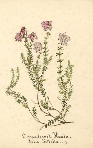 Cross-Leaved Heath Flower, Erica Tetralix - Original 1895 watercolour painting