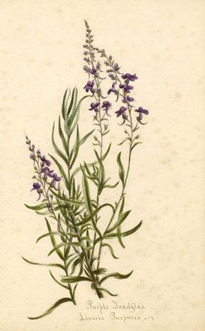 Purple Toadflax Flower, Linaria Purpurea - Original 1893 watercolour painting