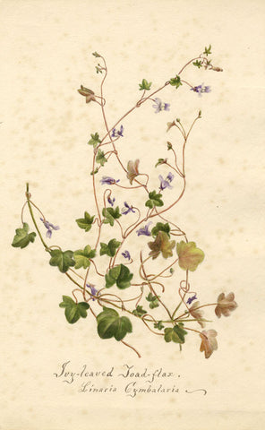 Ivy-Leaved Toad-Flax Flower, Linaria Cymbalaria - 1898 watercolour painting
