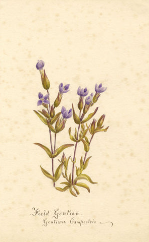 Field Gentian Flower, Gentiana Campestris - Original 1898 watercolour painting