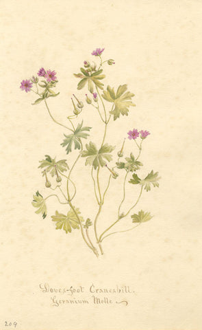 Doves-Foot Cranesbill Flower Geranium Molle - Original 1896 watercolour painting