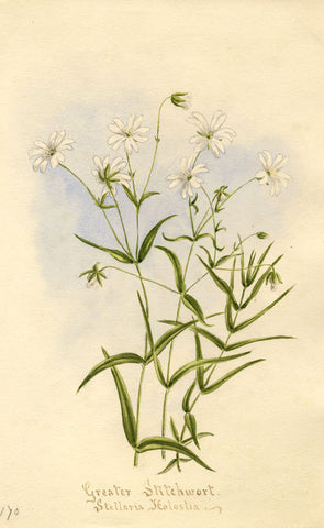 Greater Stitchwort Flower, Stellaria Holostea - 1895 watercolour painting