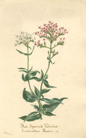 Red Spurred Valerian Flower, Centranthus Ruber - 1894 watercolour painting