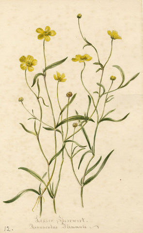 Lesser Spearwort Flower, Ranunculus Fammula - Original 1897 watercolour painting