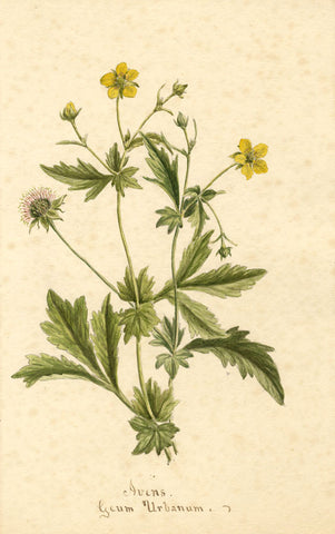Avens Flower, Geum Urbanaum - Original 1895 watercolour painting