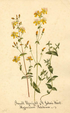 St. John's Wort Flower (Hypericum Pulchrum) - Original 1895 watercolour painting