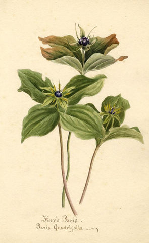 Herb Paris Flower (Quadrifolia) - Original 1904 watercolour painting