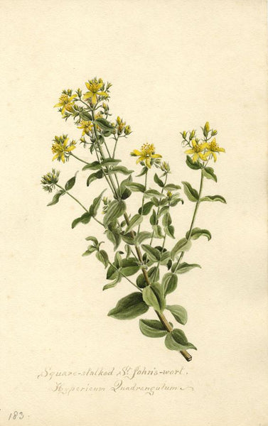 St. John's Wort Flower (Hypericum Quadrangulum) - 1901 watercolour painting