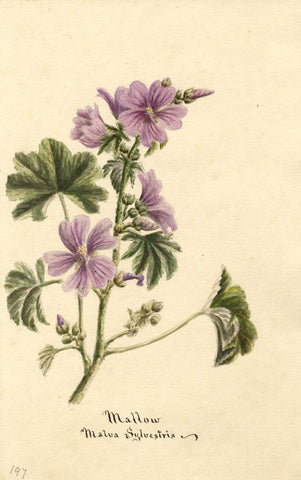 Mallow Flower (Malva Sylvestris) - Original 1896 watercolour painting