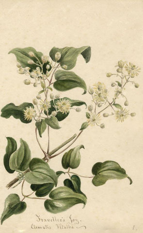 Traveller's Joy Flower (Clematis Vitalba) - Original 1897 watercolour painting