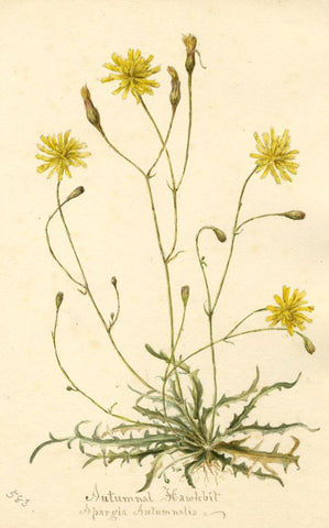 Autumnal Hawkbit Flower (Apargia Autumnalis) -Original 1897 watercolour painting