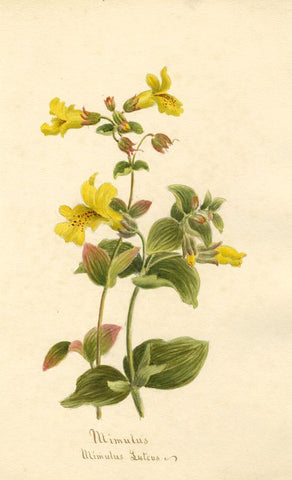 Mimulus Flower (Mimulus Luteus) - Original 1893 watercolour painting