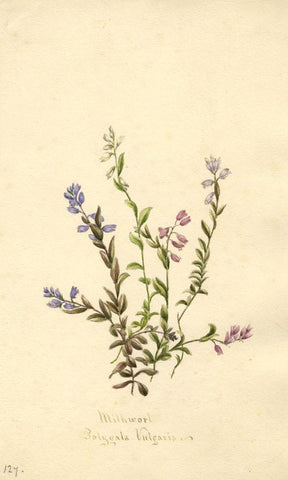 Milkwort Flower (Polygala Vulgaris) - Original 1894 watercolour painting