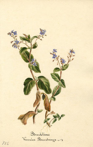 Brooklime Flower (Veronica Beccabunga) - Original 1896 watercolour painting