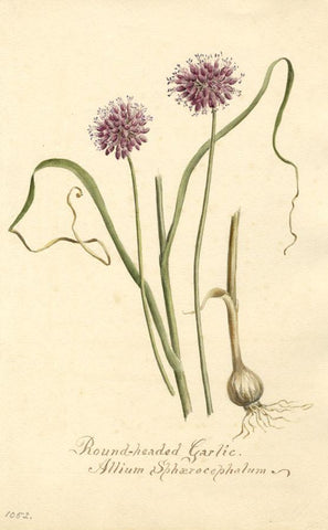 Roundheaded Garlic Flower (Allium Sphaerocephalum) - 1901 watercolour painting