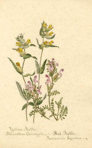 Red & Yellow Rattle Flowers - Original 1895 watercolour painting