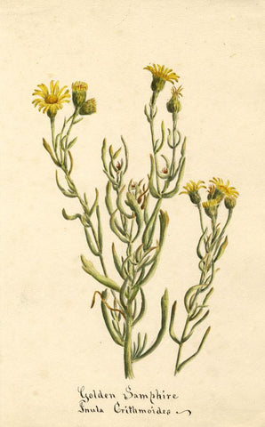 Golden Samphire Flower (Inula Crithmoides) - Original 1896 watercolour painting