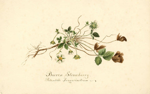 Barren Strawberry Flower (Potentilla Fragariastrum) - 1894 watercolour painting