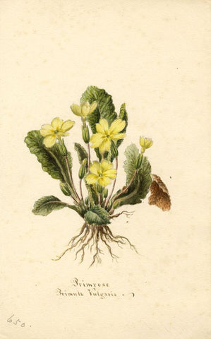 Primrose Flower (Primula Vulgaris) - Original 1894 watercolour painting