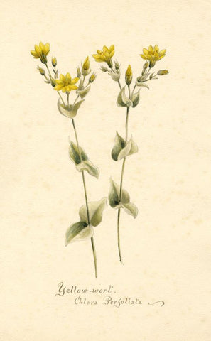 Yellow Wort Flower (Chlora Perfoliata) - Original 1898 watercolour painting