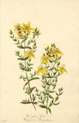 St. John's Wort Flower (Hypericum Perforatum)-Original 1893 watercolour painting