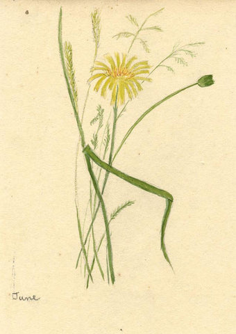 Anna Knowles, Hairy Cat's Ear Flower - Early 19th-century watercolour painting