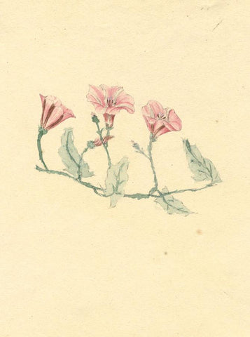 Anna Knowles, Pink & White Bindwind Flowers - Original 1805 watercolour painting