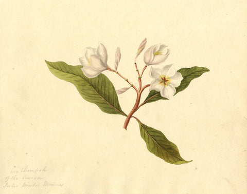 Champah Tree Flowers, after J. Forbes - Early 19th-century watercolour painting
