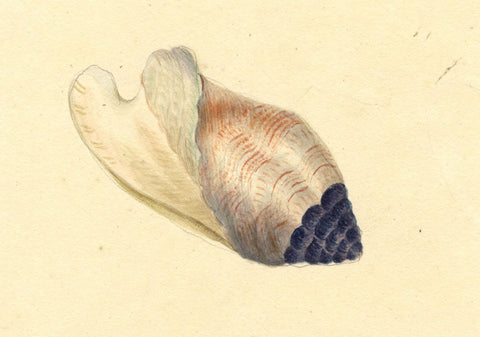 Anna Knowles, Conch Shell - Original early 19th-century watercolour painting