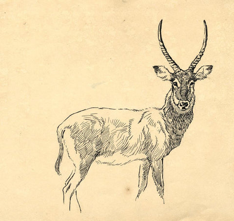 John Murray Thomson RSA, Woodland Stag - Original mid-20th-century ink drawing