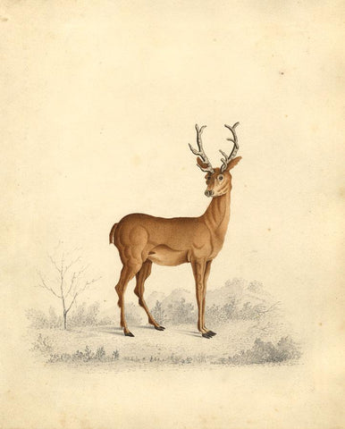 W.W. Rooke, Study of a Stag - Original 1829 watercolour painting