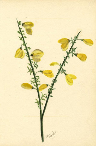 E. Rice, Golden Broom Flower & Poem, Two Sheets - 1876 watercolour painting
