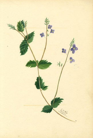 E.D. Rice, Blue Eyebright Flowers & Poem, Two Sheets - 1876 watercolour painting