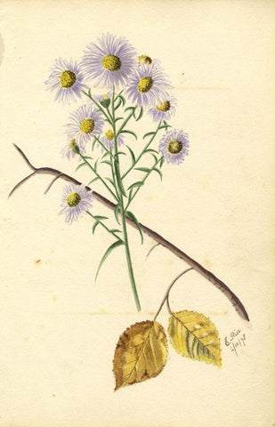 E. Rice, Michaelmas Daisy Flowers & Poem, Two Sheets - 1875 watercolour painting