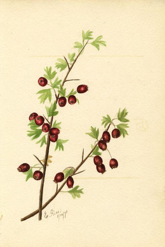 E. Rice, Hawthorn Berries & Poem, Two Sheets -Original 1875 watercolour painting