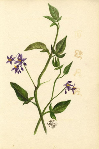 J.M. Rice, Deadly Nightshade Flowers & Poem, Two Sheets - 1876 watercolour
