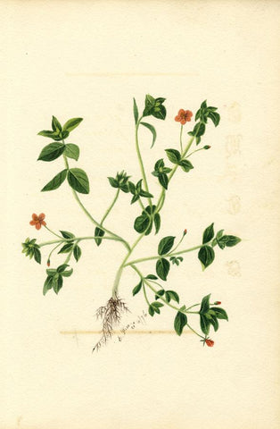E. Rice, Pimpernel Flowers & Poem, Two Sheets - 1876 watercolour painting