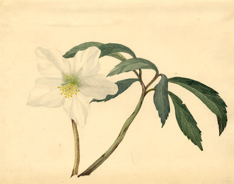 E.M.P., White Hellebore Flower -Original early 20th-century watercolour painting
