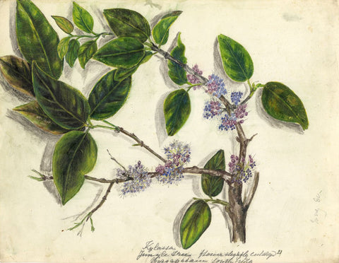 Elizabeth A. Thomas, Beautyberry Flower, India-1880 watercolour pencil painting