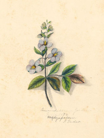 Elizabeth A. Thomas,Persian Violet Flower,India-1874 watercolour pencil painting