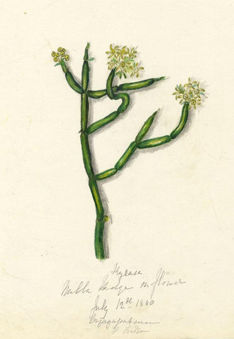 Elizabeth A. Thomas, Milla Hedge Flower, India -1880 watercolour pencil painting