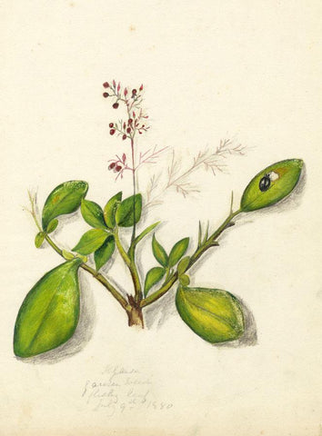 Elizabeth A. Thomas, Red Weed Flower, India - 1880 watercolour pencil painting